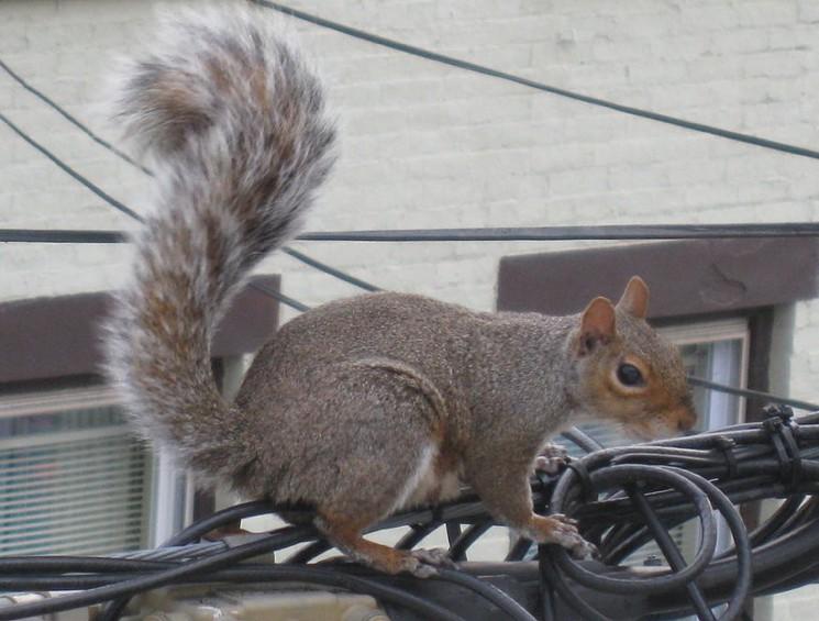 Squirrel_power_line